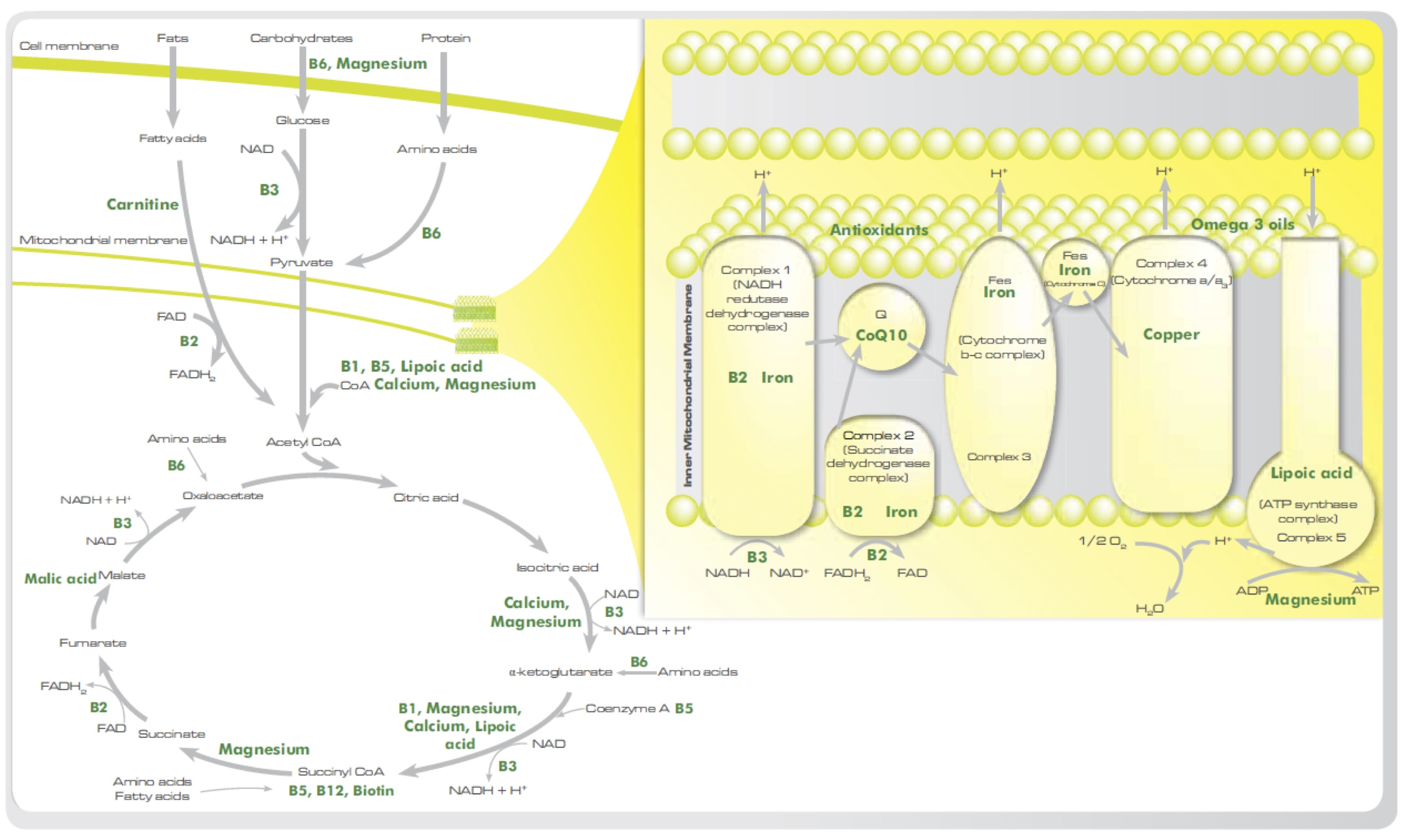 What is the cause of fatigue and why are you so tired krebs cycle diagram pooptronica Image collections