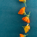 Orange calendula herb flowers lined up on a blue blackground